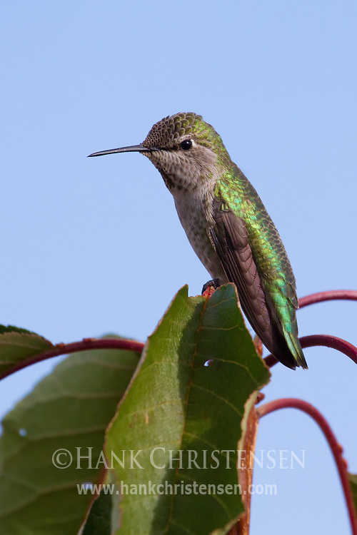 An anna's hummingbird perches at the top of a cherry tree
