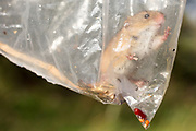 Harvest mouse (Micromys minutus) trapped on survey. Surrey, UK.