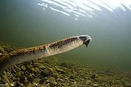Sea Lamprey, Underwater