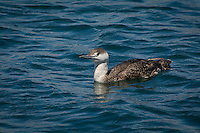 Smallest of all the world's loon species, this red-throated loon in non-breeding plumage found here close to the Del Rey Lagoon in Los Angeles, California winters regularly in California and south, but will spend most of its life in the arctic where it breeds.