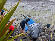 Stranded pilot whale beached at the northern tip of New Zealand's South Island, Near Blenheim, being cared for by marine conservation volunteers