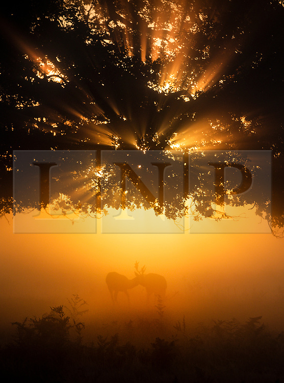 © Licensed to London News Pictures. 03/10/2019. London, UK. Deer play as the sun rises over a misty Bushy Park in south west London. A cold clear day is expected in parts of the UK today. Photo credit: Peter Macdiarmid/LNP