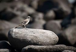 Galapagos Islands Mockingbird.