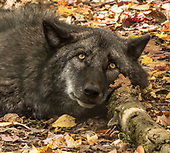 Lakota Wolf Preserve,  NJ USA