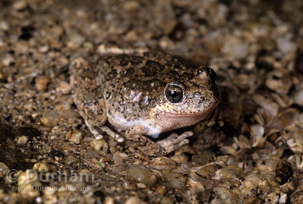 A southwestern toad (Bufo microscaphus) blending into the bottom of a small spring in the Anza-Borrego Desert, California.