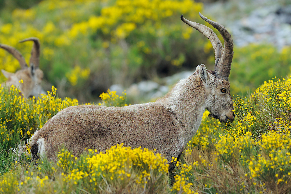 Iberian ibex Capra pyrenaica SPAIN/PEÑA DE FRANCIA MONASTERY, SALAMANCA PROVINCE, CASTILLA Y LEÓN The Iberian ibex are rare and shy all across the Sierra de Francia mountain chain, but suddenly, when you reach the lands of the Monastery of Peña de Francia, they are instead very numerous and very tame. Why is that? Because here they are not hunted. Which also means that what you see here is probably the normal, natural numbers of ibex, and that means hundreds. It also shows that wild animals quickly learn where they are not hunted and then can become much more relaxed in their relation with humans. Hunted to near-extinction, the Iberian ibex is now returning in strong numbers and slowly spreading, all due to strictly enforced protection measures. The ibex population in Spain has increased from fewer than 5,000 individuals in 1980, to an estimated 50–60,000 today. A major conservation success! The first Iberian ibex are now also returning to Portugal, where the local subspecies was wiped out as recently as the year 2000. Many areas in Portugal and Spain are still waiting for reintroductions to speed up that recovery – among them Rewilding Europe's focus areas Sierra de Gata and Campanarios de Azába in Spain, together with Faia Brava and the Côa Valley in Portugal. The ibex was once one of the most important browsers and grazers all across Southern and Alpine Europe, living comfortably from sea level all the way up to the highest Alps, filling an ecological niche which for the last 5,000 years has been occupied by the domestic sheep. Photo: Staffan Widstrand/Wild Wonders of Europe