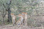 African cheetahs in habitat