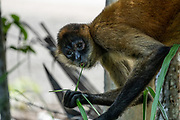 close up portrait of a Geoffroy's spider monkey (Ateles geoffroyi), also known as the black-handed spider monkey, is a species of spider monkey, a type of New World monkey, from Central America. Photographed in Costa Rica