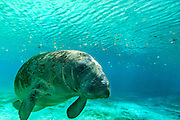 Manatee swimming in clear water in Crystal River, Florida