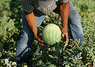 Photo by Alex Jones..An illegal immigrant from Monterrey, Mexico harvests watermelons in a field outside of Edinburg on June 15.  The man, who requested not to be identified, said he has spent the last 7 years working in the Rio Grande Valley with his wife because he could not find work in his native Mexico, and would gladly travel farther north into the US to work if he could get past the highway checkpoints.