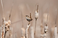 Marsh Wren vocalizing from the top of a cattail in a northern Utah marsh.
