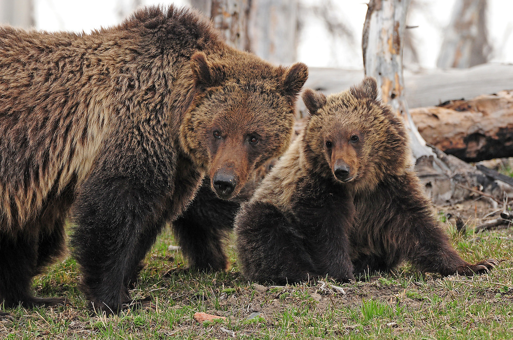 A mother bear's love for her cubs is legendary. She is often called upon to protect her brood from danger, including adult male bears who may enter her territory.
