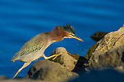 Green Backed Heron prowling the shoreline of Lake Murray.  In this case, that involves 'boulder hopping'.
