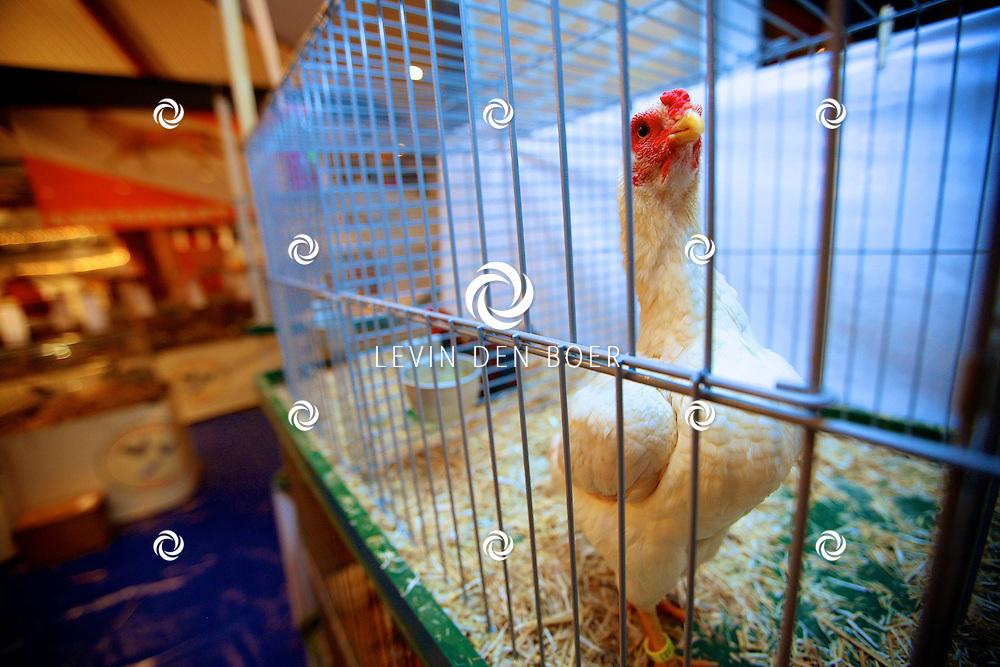 NEDERHEMERT - Clubshow van Konijnen en Pluimveevereniging Knagend Vooruit. 40 fokkers met meer dan 450 hoenders en konijnen. FOTO LEVIN DEN BOER - PERSFOTO.NU