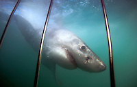 Great white shark, view from the cage in Mossel Bay, South Africa