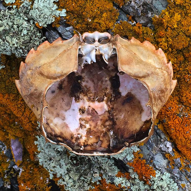 Crab Shell, Nautilus Island, Castine, Maine, US