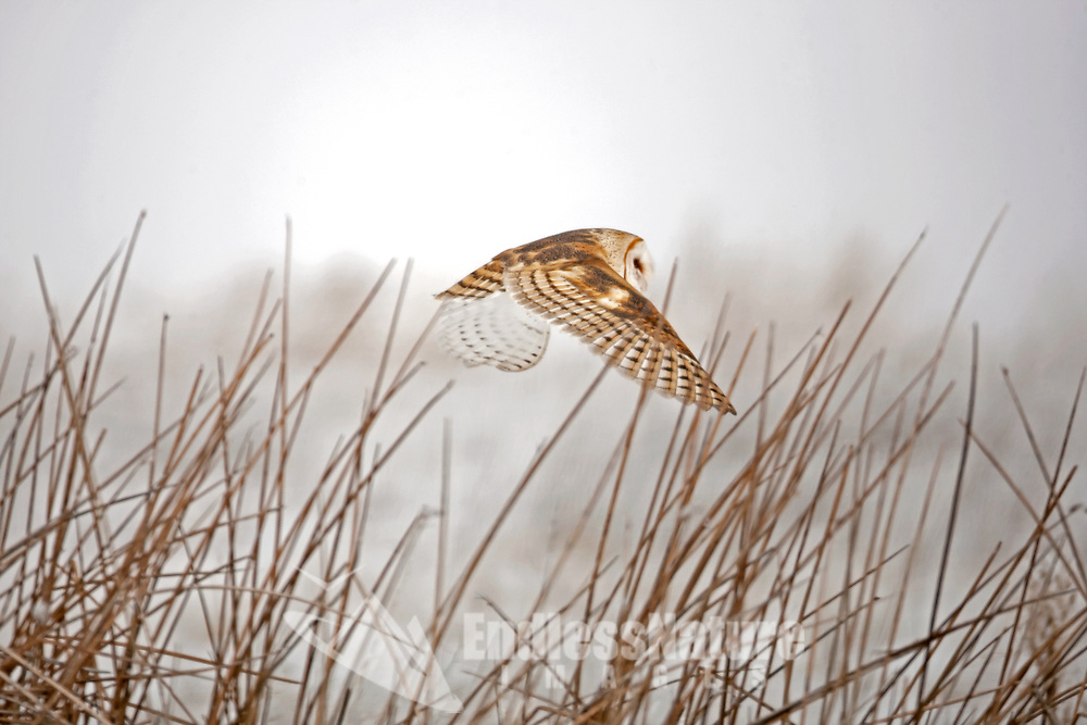 A adult Barn Owl takes flight on a foggy morning from the cattails in a local marsh.