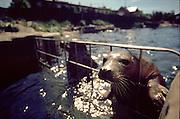 Fokarium  w Helu na Polwyspie Helskim, 25-06-2005, fot: Piotr Gesicki..Seals in Hel town on Hel pennisula, on Baltic sea, Poland, 25-06-2005, photo: Piotr Gesicki. Hel pennisula on Baltic sea in Poland photo by Piotr Gesicki