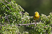 Yellowhammer, New Zealand