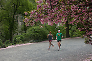Runners under the cherry blossoms on the bridle path at the Reservoir in Central Park