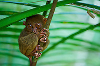 Philippines, archipel des Visayas, île de Bohol, primate Tarsier au Tarsier visitors center. // Philippines, Visayas islands, Bohol island, Primate Tarsier at Tarsier visitor center.