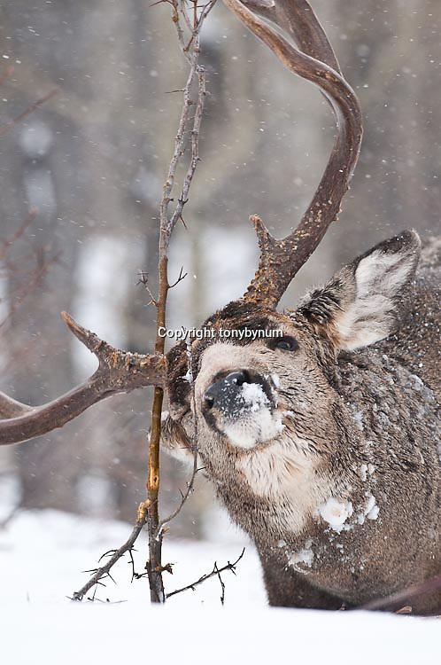 mature trophy muledeer buck rubs antlers tree winter snow