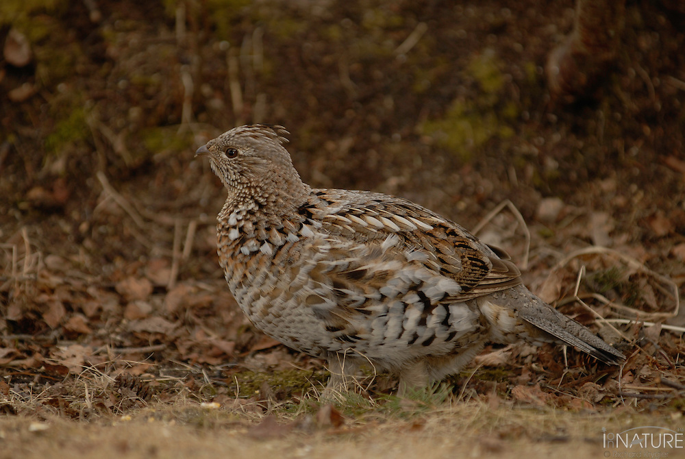 Spruce grouse hen well camouflaged on the ground.