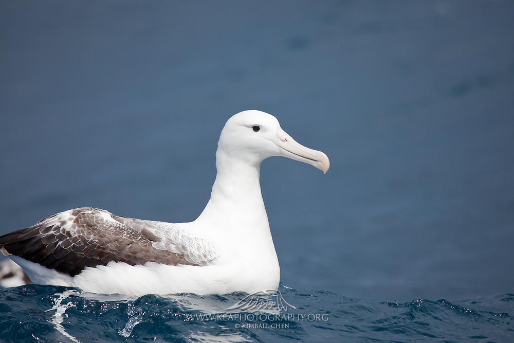 Southern Royal Albatross, Stewart Island, New Zealand