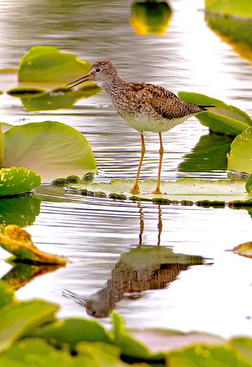 Alaska. Greater Yellowlegs (Tringa melanoleuca) calling from the floating leaf of a yellow pond lilly on a marsh along the Richardson Highway.