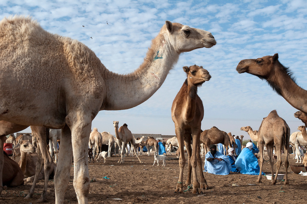 Camel breeders and their herds at the central animal market just next to the main abattoir in the country's capital..Nouakchott, Mauritania. 14/03/2011..Photo © J.B. Russell