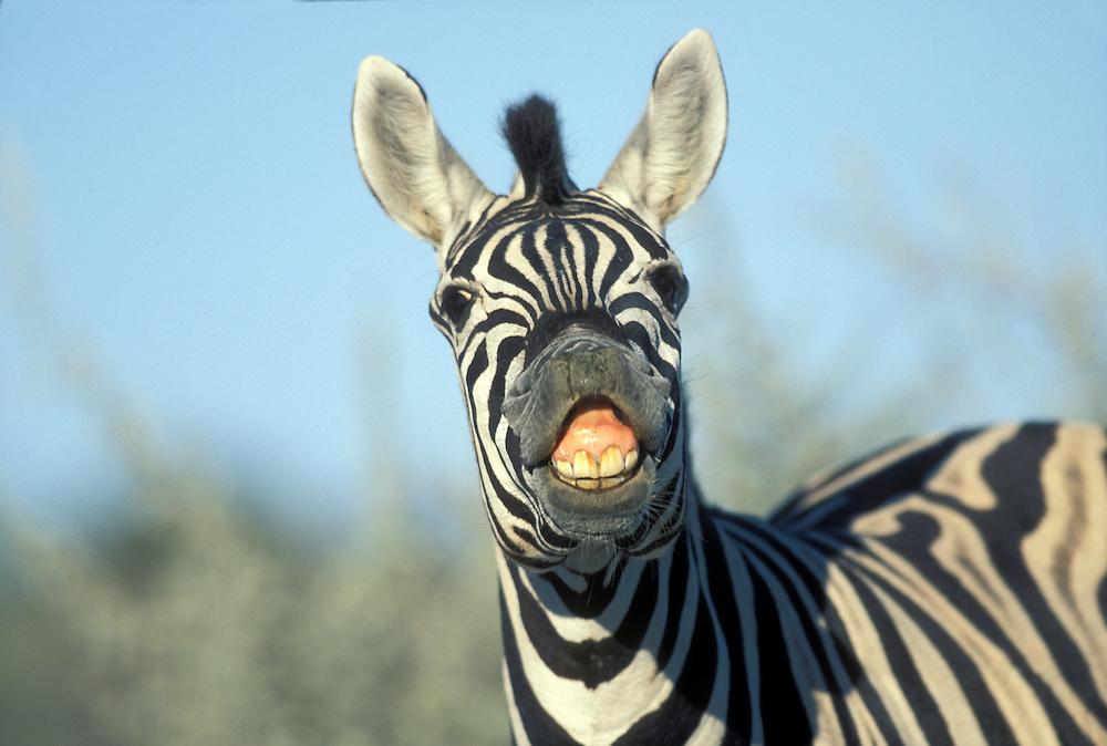 Namibia, Etosha National Park, Plains Zebra (Equus burchelli) bares teeth in appearance of smile by desert water hole