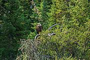Bald eagle (Haliaeetus leucocephalus) in tree along the Bloodvein River<br /> Near Bloodvein<br /> Manitoba<br /> Canada