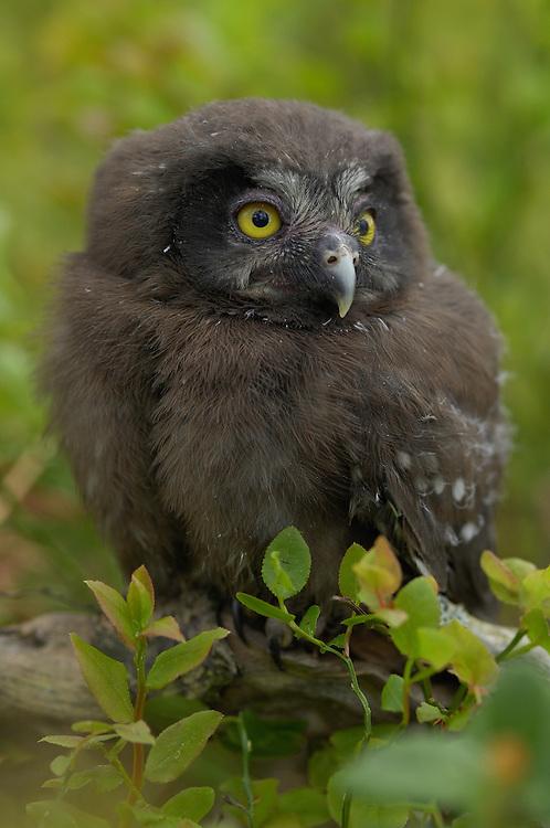 Tengmalm's owl, Aegolius funereus, young, Bergslagen, Sweden