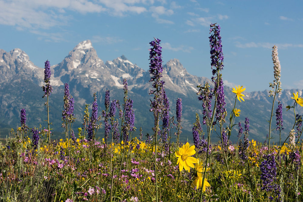 Wildflowers in abundance in the fields beneath the Tetons