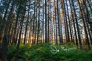 Sunset seen through the forest in Glacier Bay National Park, Alaska.