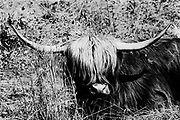 Portrait of a highland cow lying in the grass -