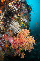 Reef Wall with Healthy Soft Corals and Feather Stars..Shot in Indonesia