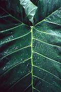 Taro leaf<br />