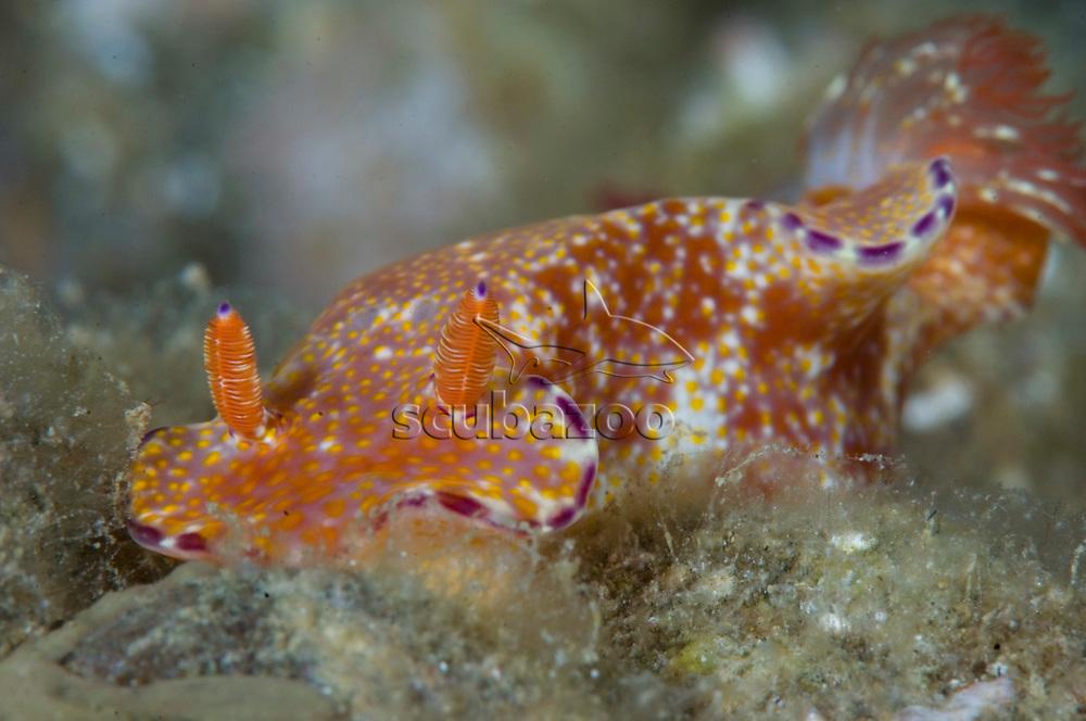 Nudibranch, Ceratosoma tenue, Anilao, Solo, Anilao Mabini, Batangas, Philippines