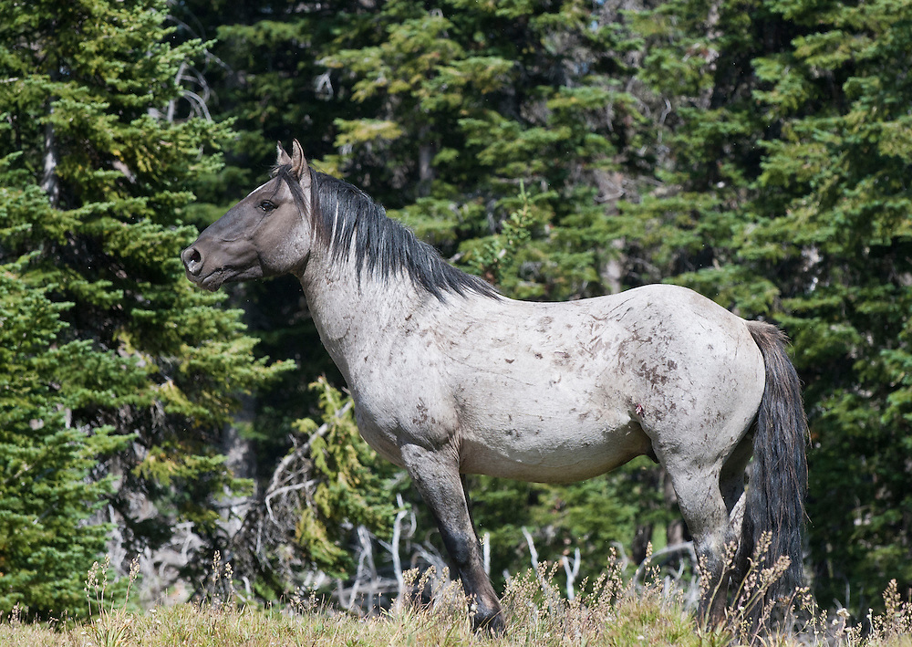 Flint, a wild horse stallion, Pryor Mountains, Montana
