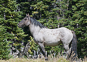 Flint, a wild horse stallion, Pryor Mountains, Montana