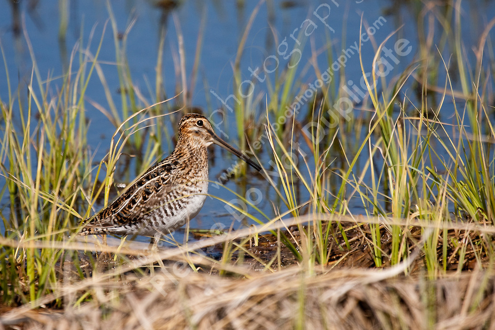 These birds are pretty, and pretty hard to find too!  The are extremely well camouflaged and they blend extremely well into the thick slough grasses that they normally hang out in...©2009, Sean Phillips.http://www.Sean-Phillips.com