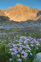 Field of wildflowers composed of purple Asters in Indian Basin, Harrower Peak is in the distance, Bridger Wilderness, Wind River Range wyoming