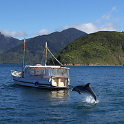 Dolphins in playful mood near a pleasure craft in Queen Charlotte Sound, South Island, New Zealand..The dolphins are viewed by tourists on a 'swimming with Dolphins' trip with Dolphin Watch Eco Tours, run out of Picton, South Island, New Zealand. 27th January 2011. Photo Tim Clayton..