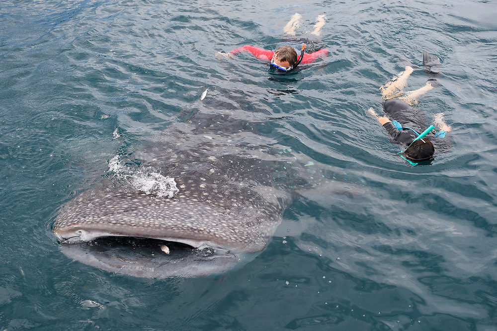 "Whale shark swimming ecotourism (Rhincodon typus) near a Fishing platform, Bitsyara Bay, Mainland New Guinea, Western Papua, Indonesian controlled New Guinea, on the Science et Images ""Expedition Papua, in the footsteps of Wallace"", by Iris Foundation"