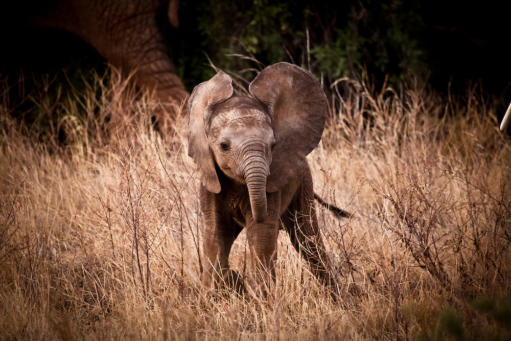 Playtime on the Savanna – African Elephant - Samburu Game Reserve, Northern Kenya, Africa: This image is of a baby African Elephant. I found him with his mother and family and he stepped forward swinging his truck towards me in a playful manner, as if inviting me to come and play. Edition on 100 EXP 0301