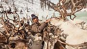 Tsaatan reindeer herder gives salt to reindeer after long winter without salt in Hunkher mountains, northern Mongolia