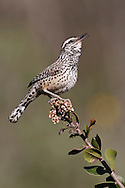 Cactus Wren - Campylorhynchus brunneicapillus - Adult (coastal Southern California subspecies)