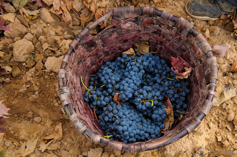 Wine Harvest, García Figuero Winery, La Horra, Burgos, Rivera del Duero, Spain.