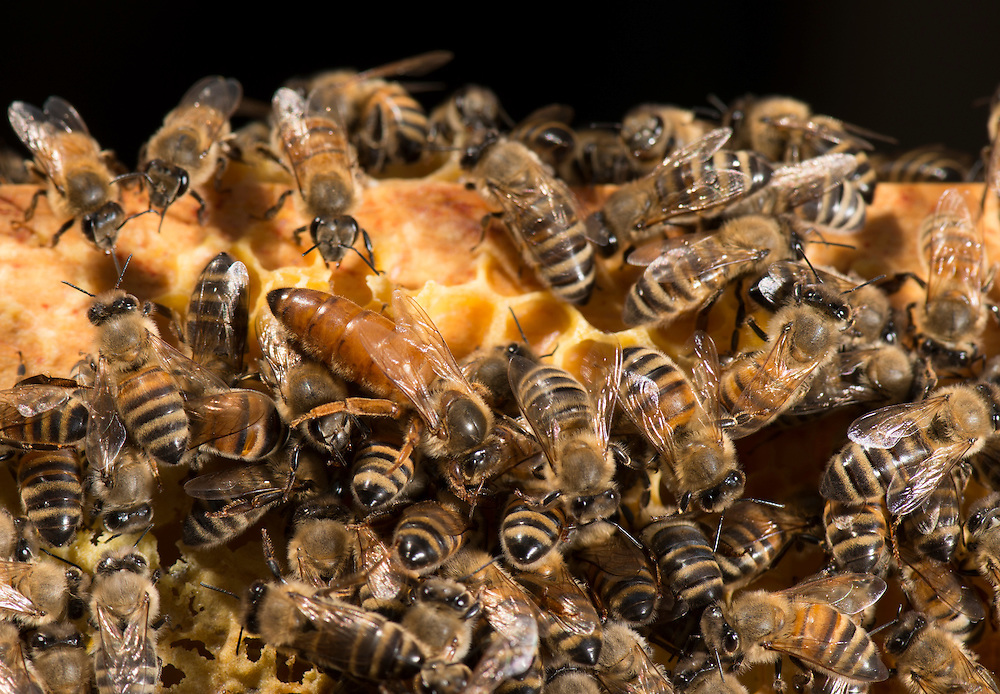 European honey bee (Apis mellifera), Tending the queen, Captive,  credit: Palo Alto JMZ/M.D. Kern